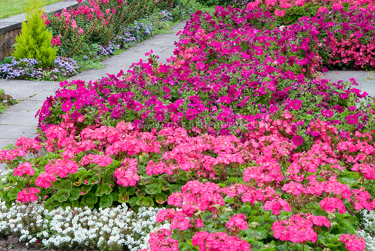 Planting in drifts with harmonius color theme: Pink garden annual flower bedding of Geranium, Begonia, Petunia, Alyssum in shades of pinks in mass planting