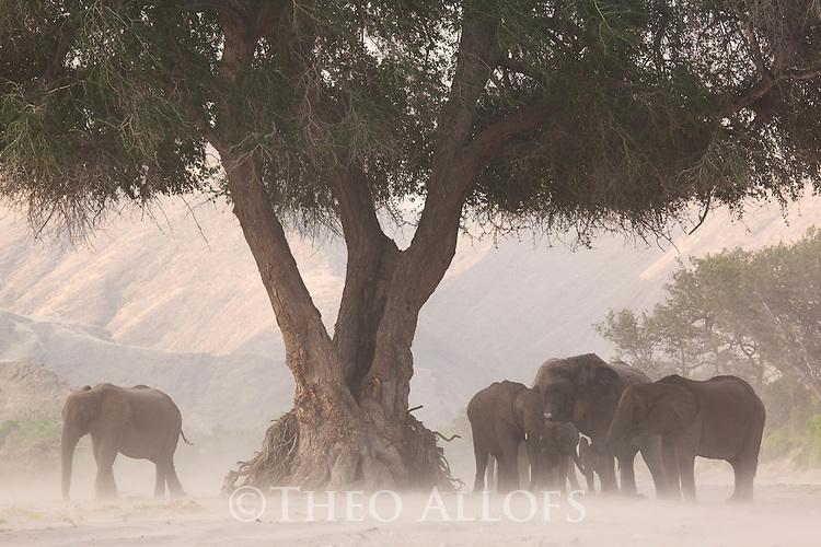 Namibia;  Namib Desert, Skeleton Coast,  desert elephant (Loxodonta africana) breeding herd in dry river bed during dust storm