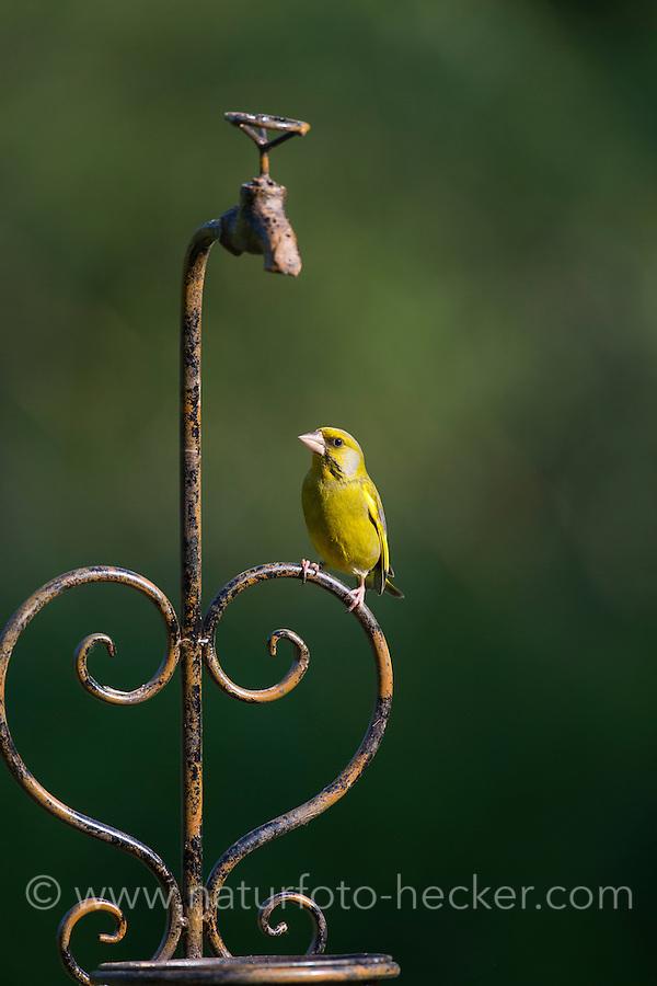 Grünfink, Grünling sitzt auf Gartendeko, Grün-Fink, Chloris chloris, Carduelis chloris, greenfinch, Verdier d'Europe