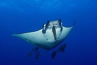 Sicklefin Devilray, Mobula tarapacana, Roca Partida, Revillagigedo Archipelago, Mexico, Pacific Ocean