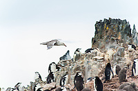 Antarctica expedition aboard the Hurtigruten FRAM ship. Skua looking for Chinstrap penguins at Half Moon Island. Half Moon Island is a two kilometer long (1.2 mile), crescent-shaped island in the shadow of the picturesque mountains and glaciers of nearby Livingston Island.