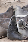 elephant seal weaner pod