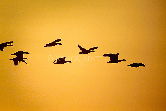 Geese flying in a sunset colored sky in Montana