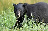 Huge male Black Bear (Ursus americanus) chews on some grass, Northern Minnesota.