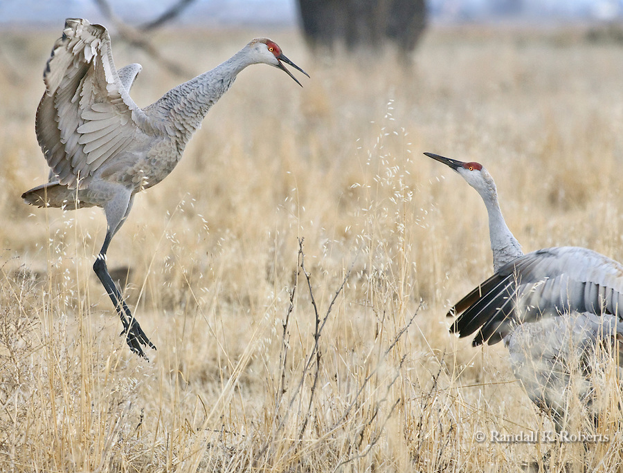 Sandhill Cranes, (Grus canadensis) display during their annual migration through Monte Vista National Wildlife Refuge, Colorado