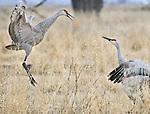 Sandhill Cranes, (Grus canadensis) display during their annual migration through Monte Vista National Wildlife Refuge, Colorado
