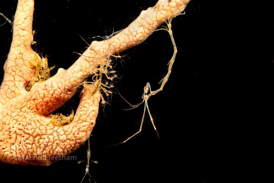 Skeleton shrimp, Caprellide sp. clinging to a sponge, Dumaguete, Philippines, Asia.