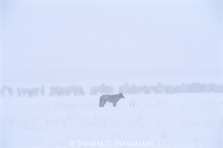 In the silence of a winter snowstorm, a lone black wolf stands amidst the bounty of a robust elk herd at the National Elk Refuge in Jackson Hole, Wyoming.