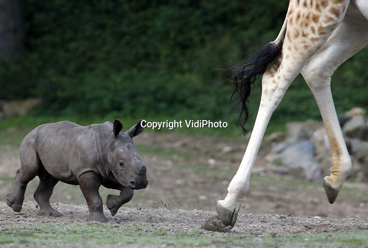 Foto: VidiPhoto<br /> <br /> ARNHEM – Het vorige maand geboren neushoornjong Diederik in Burgers Zoo, blijkt een pittig kereltje en voor niets en niemand bang. Het mannetjes, dat nu ruim vier weken oud is, mocht donderdag voor het eerst de Safari op in de Arnhemse dierentuin en kennismaken met giraffen, gnoes, zebra's en antilopen. Dat gebeurde onder toeziend ook van moeder Izala. Maar die hoefde niet in te grijpen want de brutale Diederik liet zich door niets en niemand de kaas van het brood eten. Uit iedere confrontatie kwam hij met stip als overwinnaar. Op dit moment leven er zeven breedlipneushoorns in Burgers' Zoo: één volwassen man, drie volwassen vrouwen en drie jongen in verschillende leeftijden. De jongen zijn twee vrouwtjes en dus één mannetje. Jaarlijks worden er gemiddeld zo'n 10 breedlipneushoorntjes in heel Europa worden geboren. In Burgers' Zoo zagen er sinds 2002 maar liefst tien het levenslicht. De Gelderse dierentuin is dus zeer succesvol met het fokken van breedlipneushoorns.