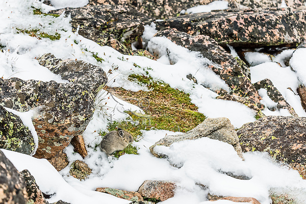 Young American pika (Ochotona princeps) after summer snowfall--not an uncommon occurrence at this altitude.  Beartooth Mountains, Wyoming/Montana border.  Summer.  This photo was taken in alpine setting at around 11,000 feet (3350 meters) elevation.