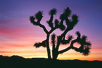 Joshua tree at sunrise<br />