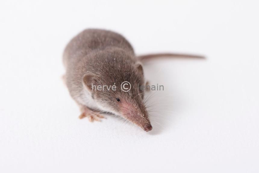 musaraigne // shrew