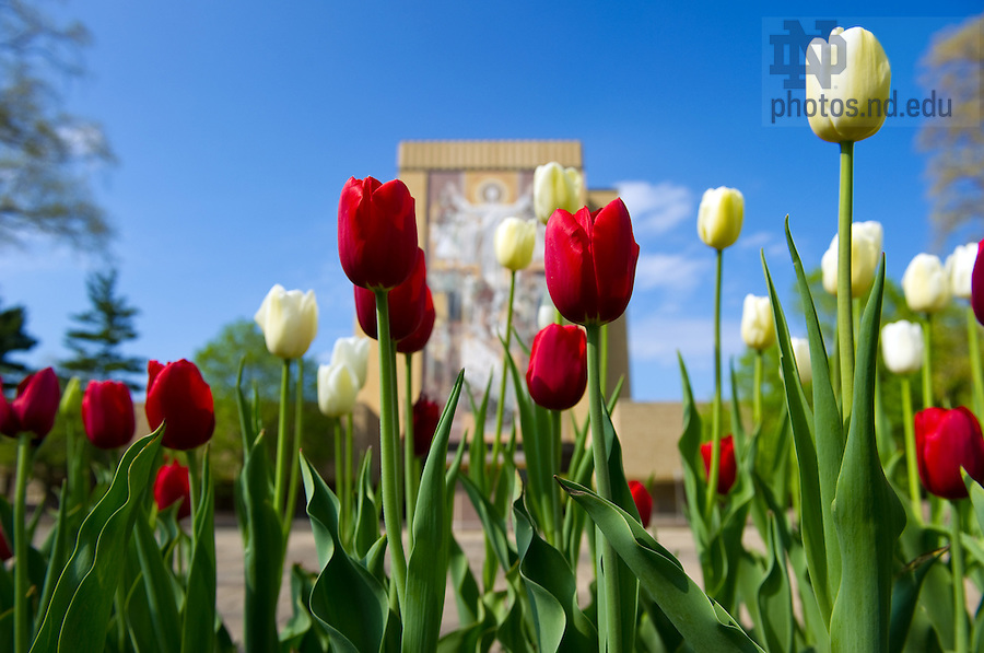 Hesburgh Library and tulips...Photo by Matt Cashore/University of Notre Dame