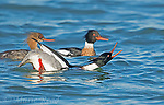 "Red-breasted Mergansers (Mergus serrator), 2 males and female, male in front is performing courtship display (""Salute-Curtsy""), Aurora, New York, USA"
