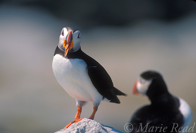 Atlantic Puffin (Fratercula atlantica) yawning, Machias Seal Island, ME/NB, USA/Canada