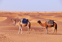 Two camels in the Sahara Desert, Tunisia, Ksar Ghilane