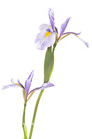 30099-00505 Blue Flag Irises (Iris versicolor) (high key white background) Marion Co. IL