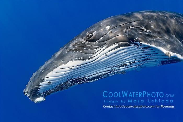 humpback whales, Megaptera novaeangliae, Hawaii, Pacific Ocean