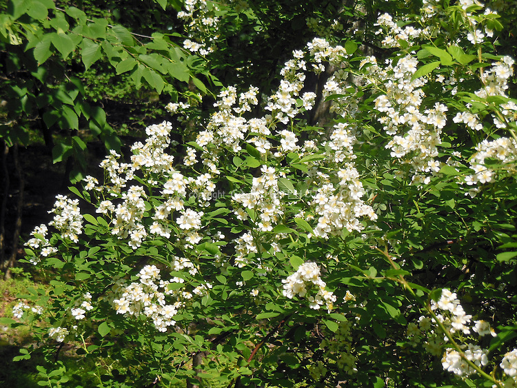 Rosa multiflora, invasive species rose . Rambling roses