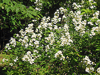 Rosa multiflora, invasive species rose