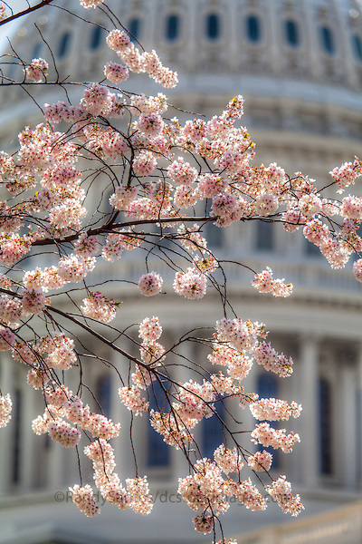 US Capitol Washington DC Cherry Blossoms in the Spring
