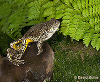 1219-1004  Frog Jumping, Eastern Gray Treefrog (Grey Tree Frog), Hyla versicolor  © David Kuhn/Dwight Kuhn Photography