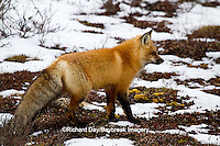 01871-02802 Red Fox (Vulpes vulpes) in snow in winter, Churchill Wildlife Management Area, Churchill, MB Canada