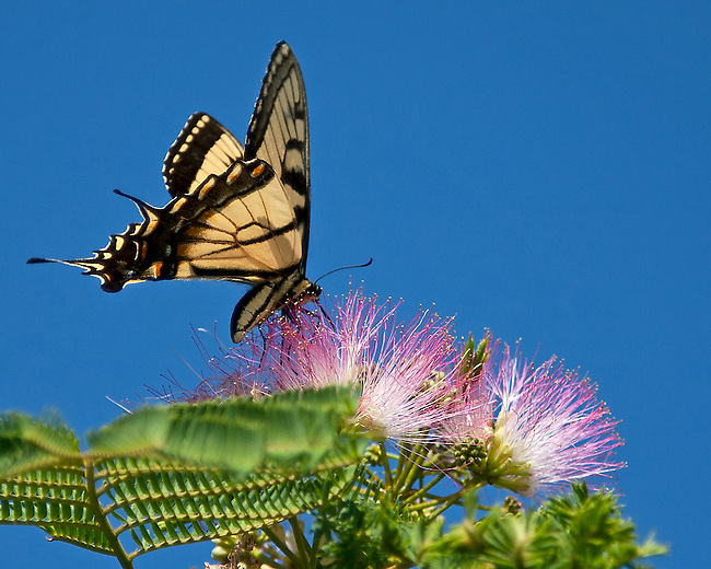 A female Tiger Swallowtail perched on and sipping from a pink Mimosa flower against a bright blue background.