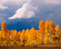 Aspen grove in fall color below the Teton Range at Oxbow Bend; Grand Teton National Park, WY
