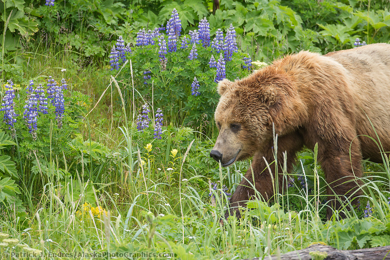 Coastal brown bear amidst the rich green fields of lupine, wildflowers and vegetation along the Alaska Peninsula coast, Katmai National Park, southwest, Alaska.