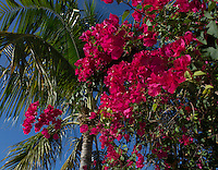 Brilliant flowers highlight a palm tree and a sparkling blue sky on a January day in Key West.