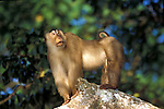Pig tailed Macaque, Macaca nemestrina, Sabah, Borneo, male, standing alert on rock.Indonesia....