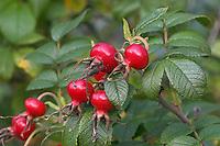 Kartoffel-Rose, Runzel-Rose, Kartoffelrose, Runzelrose, Hagebutten, Früchte, Rosa rugosa, Japanese Rose, Rosier du Japon