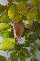 Haselmaus, klettert und frisst zwischen Hasel, Haselstrauch, Haselnuß, Haselnuss, Hasel-Maus, Muscardinus avellanarius, hazel dormouse, common dormouse, Schläfer, Schlafmäuse, Bilche, Bilch, Gliridae, dormice