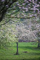 France, Calvados (14), Pays d' Auge, env de Beuvron-en-Auge, Pommiers en fleurs  // France, Calvados, Pays d' Auge, near Beuvron en Auge,  lowering apple trees