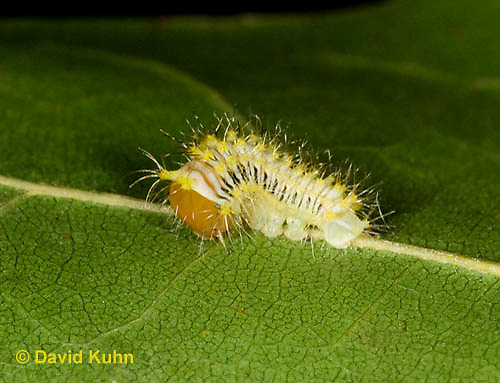 0912-0802  Oculea Silkmoth Caterpillar, Oculea Silkmoth, Antheraea oculea © David Kuhn/Dwight Kuhn Photography.