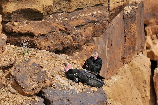 California Condors (Gymnogyps californianus) resting on cliffs, Grand Canyon National Park, Arizona.