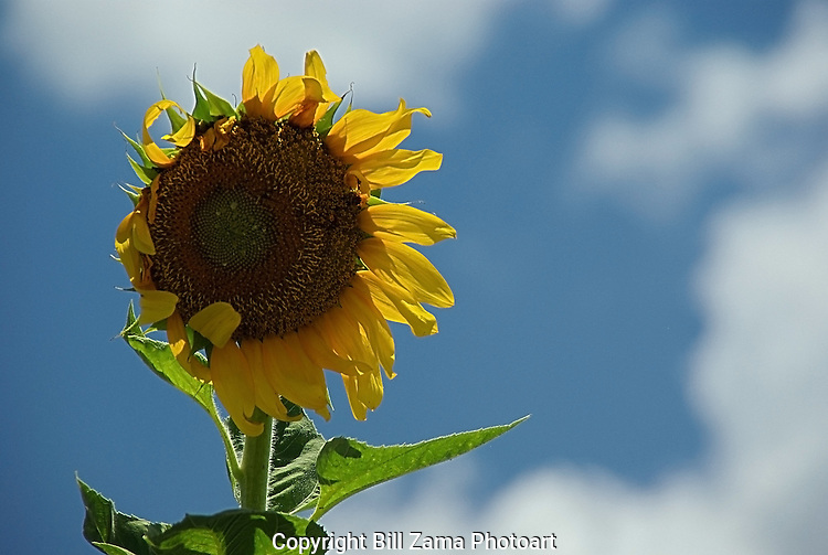 Giant sunflower in the wind.