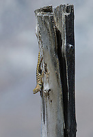 442800028 a wild yellow-backed spiny lizard sceloparus uniformis perches on a fence post in blackrock springs  inyo county california