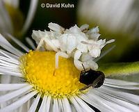 0910-0802  Ambush Bug Nymph Consuming Prey - Phymata spp. Virginia - © David Kuhn/Dwight Kuhn Photography.