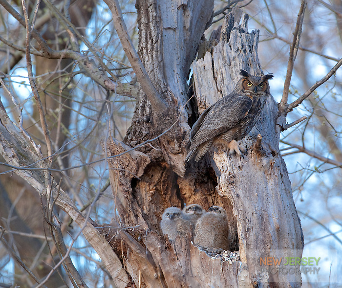 Great Horned Owl family, Burlington County, New Jersey