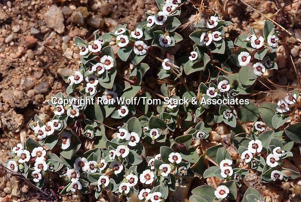 Rattlesnake Weed (Chamaesyce albomarginata) a/k/a White-margin Sandmat. Desert Tortoise Natural Area. Near California City, Kern Co., Calif.
