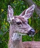 2015-02-17_URBAN WILDLIFE_Black-tailed Mule Deer
