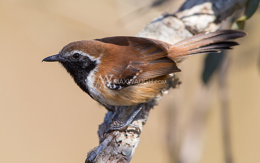 This was one of numerous small bird species seen in Emas National Park.
