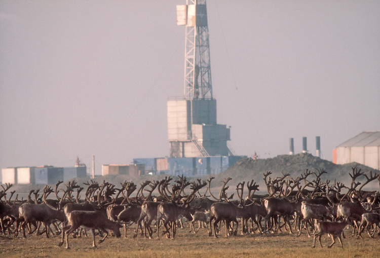 Alaska, Caribou, North Slope oil fields, Rangifer tarandus, Porcupine herd, moving past Prudhoe Bay Arctic Drilling Rig, North Slope, Alaska, 1978