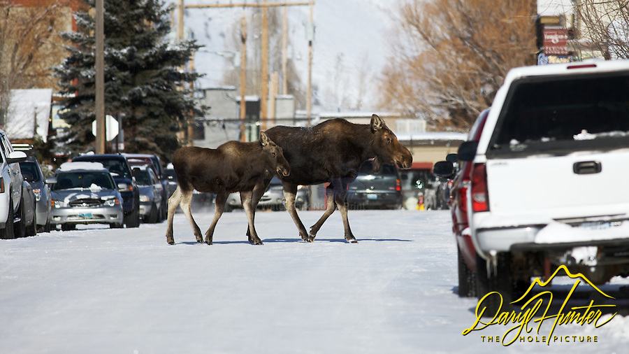 Moose family, downtown, Jackson, Wyoming