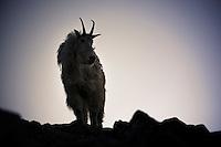 A mountain goat stands on a ridge as dawn breaks near Upper Aero Lake in the Absaroka-Beartooth Wilderness.