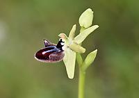 Ophrys sphegodes subsp. atrata - Gargano Peninsula, Italy