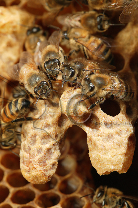 The nurse bees watch over two queen cells. These acorn-shaped alveoli are larger than the others, have a pointed tip at their base, and stand out from the perfect regularity of the comb frame.