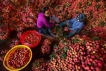 Workers sort through thousands of bright red lychee fruit before they are taken to market.  They are transported on the back of motorcycles by the locals who can carry up to 150kg in one trip.<br /> <br /> The beautiful images were captured in the famous lychee producing region of Luc Ngan district in Bac Giang province, Vietnam.  SEE OUR COPY FOR DETAILS.<br /> <br /> Please byline: Nguyen Huu Thong/Solent News<br /> <br /> © Nguyen Huu Thong/Solent News & Photo Agency<br /> UK +44 (0) 2380 458800